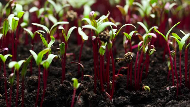 vidéos et rushes de culture de plantes à timelapse, graines de betteraves, germination des germes, agriculture de printemps et d'été - botanique