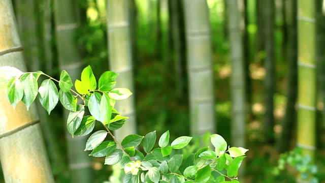 Plant in the Bamboo forest at Takebayashi park front rack focus video