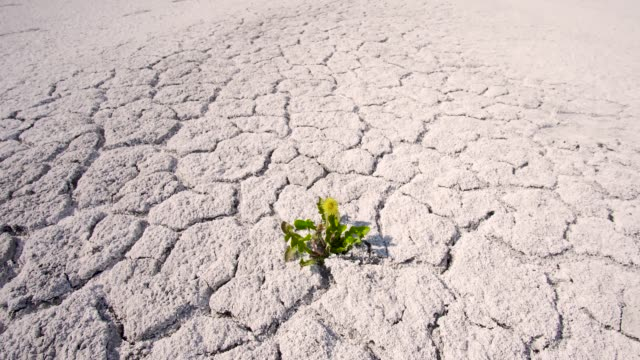 Plant in the desert Lonely sprout in the desert. Drought and Global Warming. Plants And Nature Dying. Weather Phenomenon Extreme Heat And Drought. thirsty stock videos & royalty-free footage