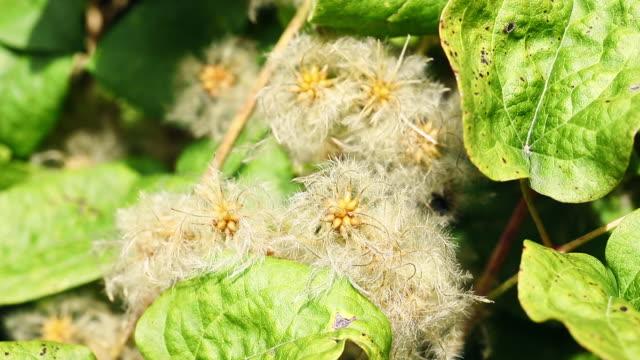 plant of clematis , bright seeds - powojnik pnący filmów i materiałów b-roll