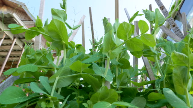 a plant of peas grows on supports in a garden in the backyard. - vite flora video stock e b–roll