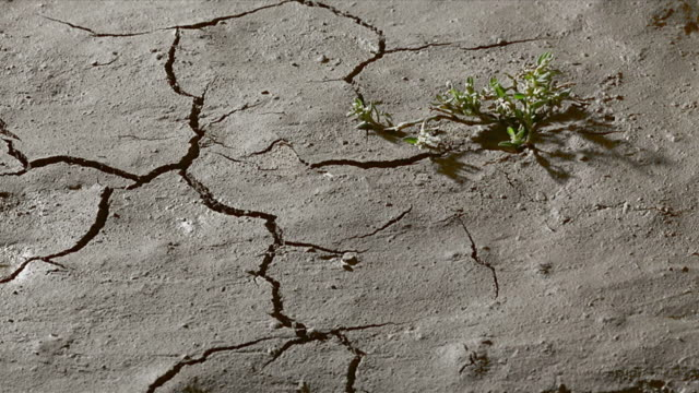plant on cracked, dry earth. video