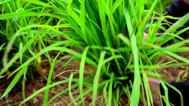 Plant Rice video