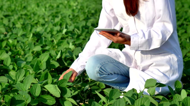 a plant specialist, checking the field soy, in a white coat makes a test analysis in a tablet, a background of greenery. concept ecology, bio product, inspection, water, natural products, professional - piantagione video stock e b–roll