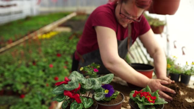 Plant transplantation in a greenhouse Mature woman transplanting flowers in a greenhouse, arranging beautiful flowers in flower pot plant nursery stock videos & royalty-free footage