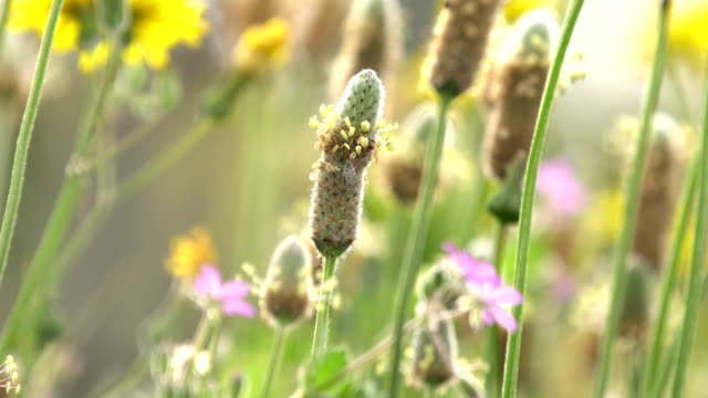 Plantago ovata in bloom macro shot Plantago ovata (known as blond plantain, desert Indian wheat (इसबगोल) , blond psyllium) is a medicinal plant native to Western Asia and Southern Asia. prairie stock videos & royalty-free footage
