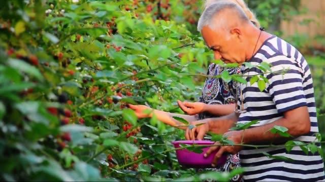 Plantation blackberry - Blackberry Berry Fruit, Blackberry - Fruit, Food, Food and Drink, Fruit nutritionist stock videos & royalty-free footage