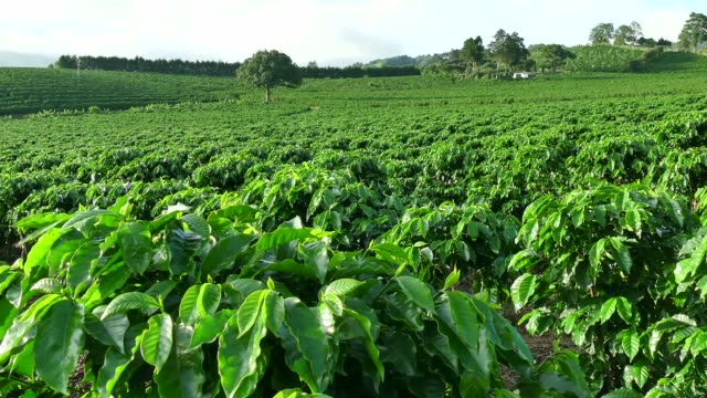 Plantation Cultivation Agriculture Farming Coffee Plants Field In Costa Rica Coffee plantation near Poas or Poás Volcano in Costa Rica, Central America for export and global market. Agriculture, field on hill, cultivation, farming, crop plantation stock videos & royalty-free footage