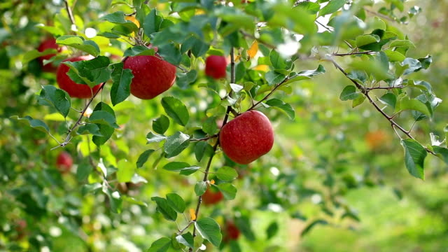 Plantation of apples of the Fuji variety. video
