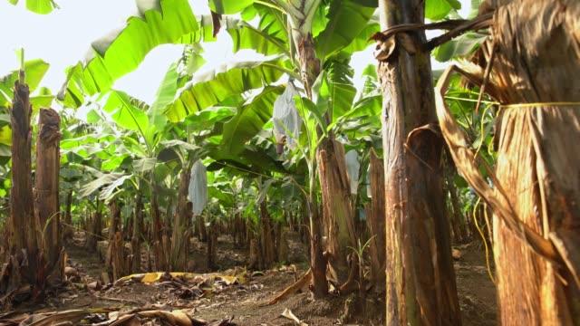 DS Plantation of banana trees video