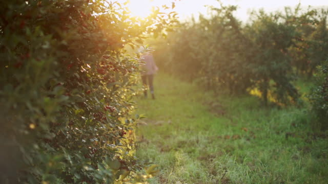 Plantation of cherry at early summer morning stock video