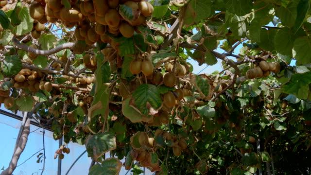 plantering av kiwi träd med stora kluster av frukter - fruktträdgård bildbanksvideor och videomaterial från bakom kulisserna