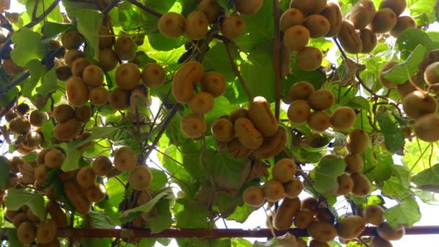 plantering av kiwi träd med stora kluster av frukter - kiwifrukt bildbanksvideor och videomaterial från bakom kulisserna