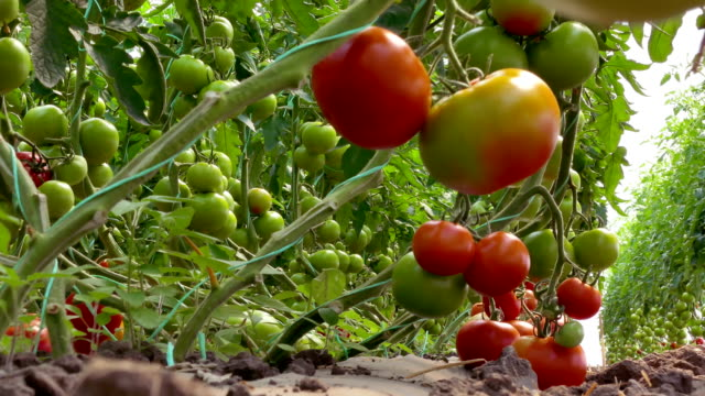 Plantation of Organic Tomatoes Picking organic tomatoes produced in the greenhouse vegetable garden stock videos & royalty-free footage