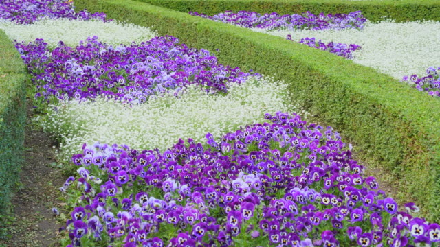 Plantation of Purple pansy in Park