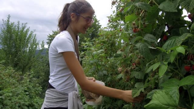 vídeos de stock e filmes b-roll de plantation of raspberry - picking fruit
