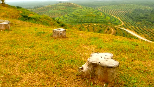 Plantations of oil palm tree rows are seen from above. Tropical landscape. View from the hill on the coast of the PhangNga Bay covered mangrove forest with high karst mountains towering above the water surface. The palm oil industry is aproaching the egde of the wild rain forest. plantation stock videos & royalty-free footage