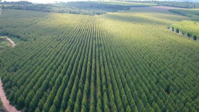 planterad eukalyptusskog - eucalyptus leaves bildbanksvideor och videomaterial från bakom kulisserna