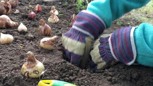 Planting and covering bulbs by a child wearing gloves A child works in the dirt to plant and cover a daffodil bulb. The child works with gloves and a green trowel, or small shovel. tulip stock videos & royalty-free footage