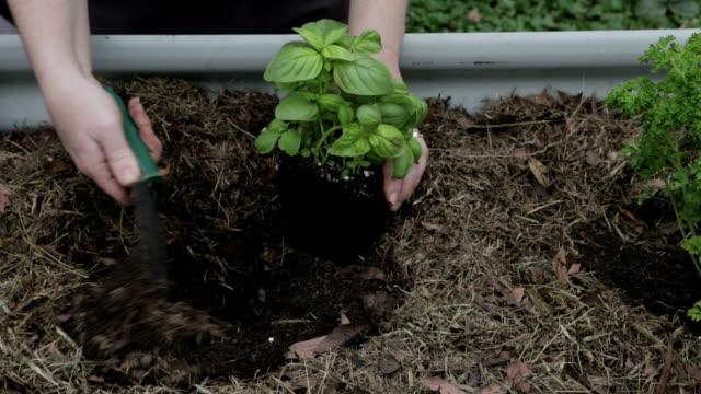 Planting Basil video