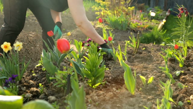 Planting flowers in the garden Planting flowers in the garden tulip stock videos & royalty-free footage