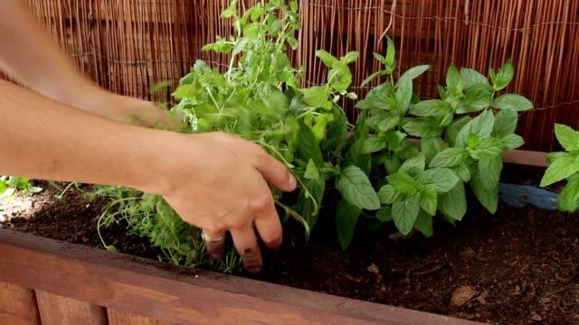 vidéos et rushes de plantation thym partie 2 - plante aromatique