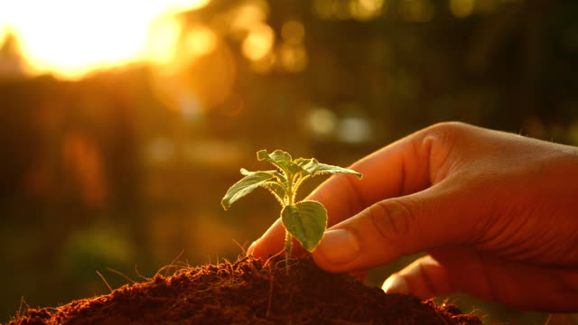 planting tree sprout at sunset. video