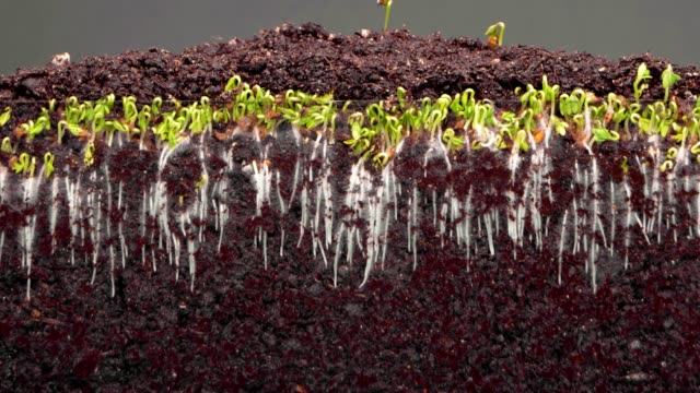 plants grow up in fertile soil on grey background timelapse