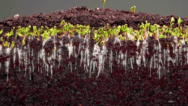 vidéos et rushes de les plantes grandissent dans le sol fertile sur le timelapse gris de fond - racine partie d'une plante