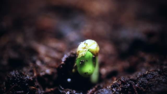 温室の農業で生育する植物は、時間経過もやし発芽。新しい生活。進化の概念。マクロの性質。春夏の時間の経過。 - 苗点の映像素材/bロール