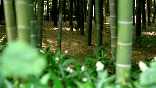 Plants in the Bamboo forest at Takebayashi park back shallow focus video