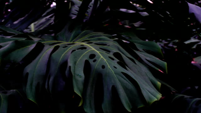 Plants with big leaves grow in jungles, close-up photography video