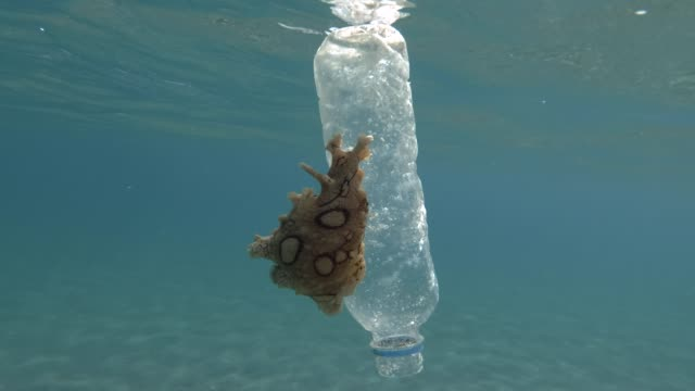 Plastic pollution, A beautiful nudibranch sea hare crawls along plastic bottle floats on the surface of the blue water. Nudibranch or Sea slug Spotted sea hare (Aplysia dactylomela) Mediterranean Sea, Europe.