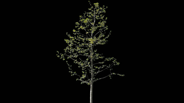 Platanus Isolated Tree - video