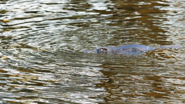 näbbdjuret på ytan av en flod i tasmanien, australien - platypus bildbanksvideor och videomaterial från bakom kulisserna