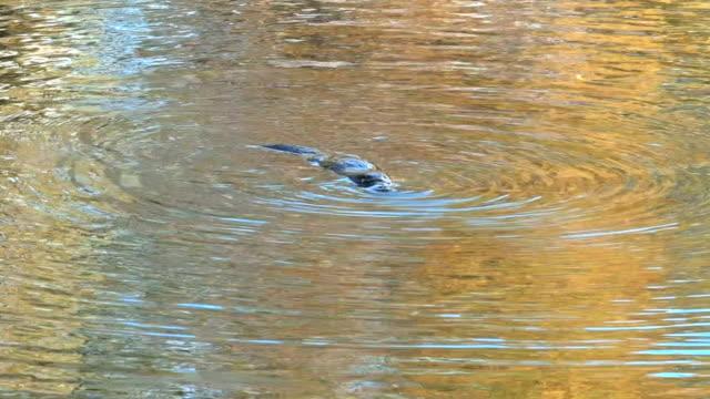 näbbdjuret simning och dykning i en flod i tasmanien, australien - platypus bildbanksvideor och videomaterial från bakom kulisserna