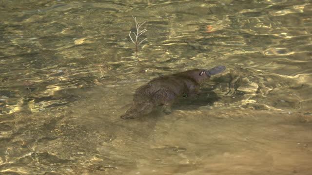 platypus - platypus bildbanksvideor och videomaterial från bakom kulisserna