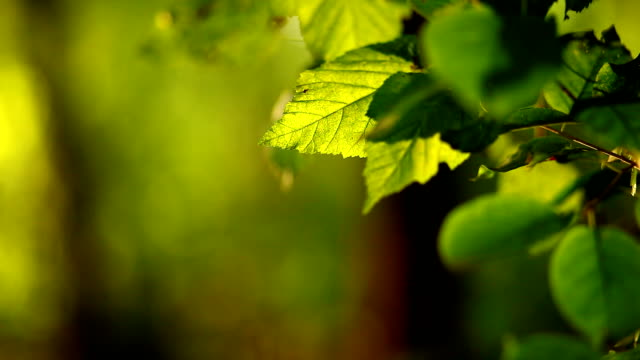 Play of light on green leaves video