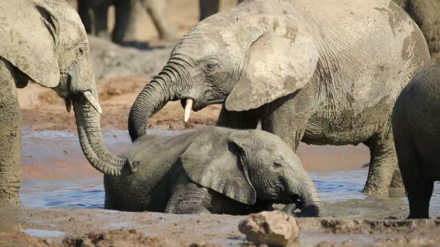 playful african elephant calves - молодое животное стоковые видео и кадры b-roll