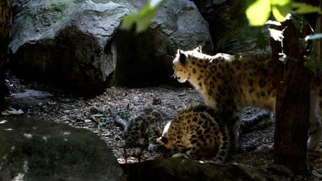 playful baby kitten of Snow Leopard cat, Irbis video