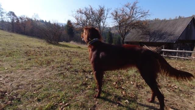 Playful beautiful brown irish setter standing outdoors after having fun. Slow motion. 4K