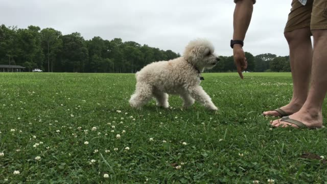 playful bishon frise - bichon frisé video stock e b–roll