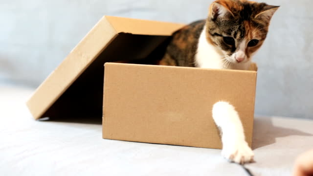 Playful cat in a box of cardboard A young playful cat in a box shorthair cat stock videos & royalty-free footage