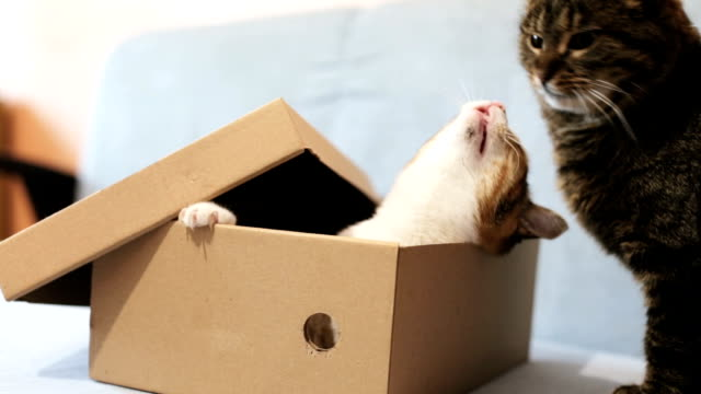 Playful cats in a cardboard box video