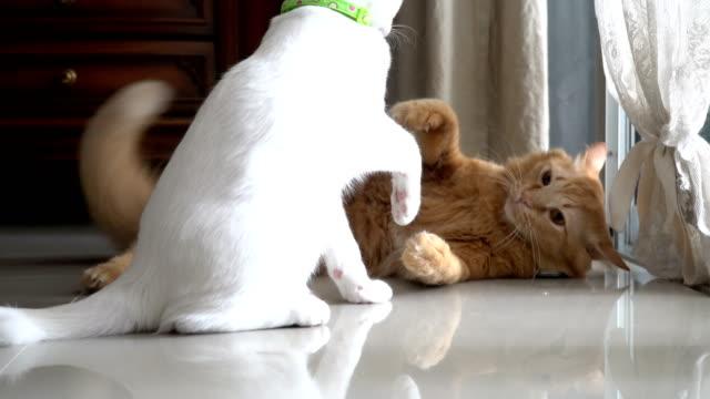 vídeos y material grabado en eventos de stock de juguetón gatos - lucha
