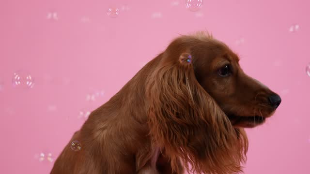 en lekfull cocker spaniel sitter och fångster med sin mun såpbubblor som flyger runt honom. närmre av en hunds nosparti. pet i studion på en rosa bakgrund. slow motion - brun beskrivande färg bildbanksvideor och videomaterial från bakom kulisserna