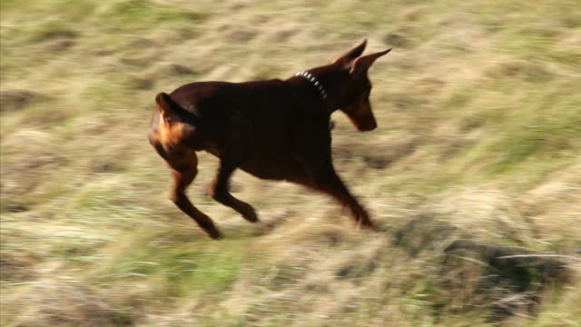 Playful Doberman Bouncing, Hunting in Field video