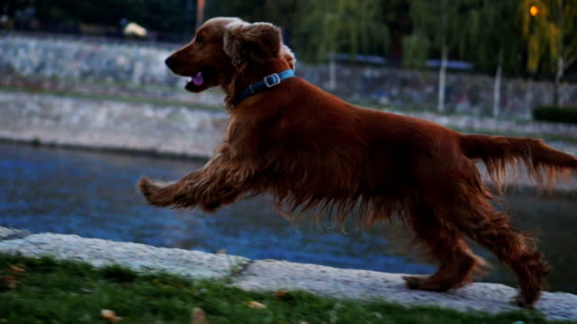 Playful dog running near the river video