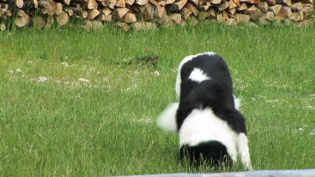 HD: Playful dog video
