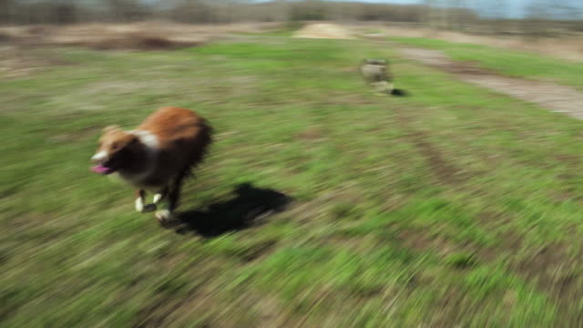 playful dogs - border collie video stock e b–roll